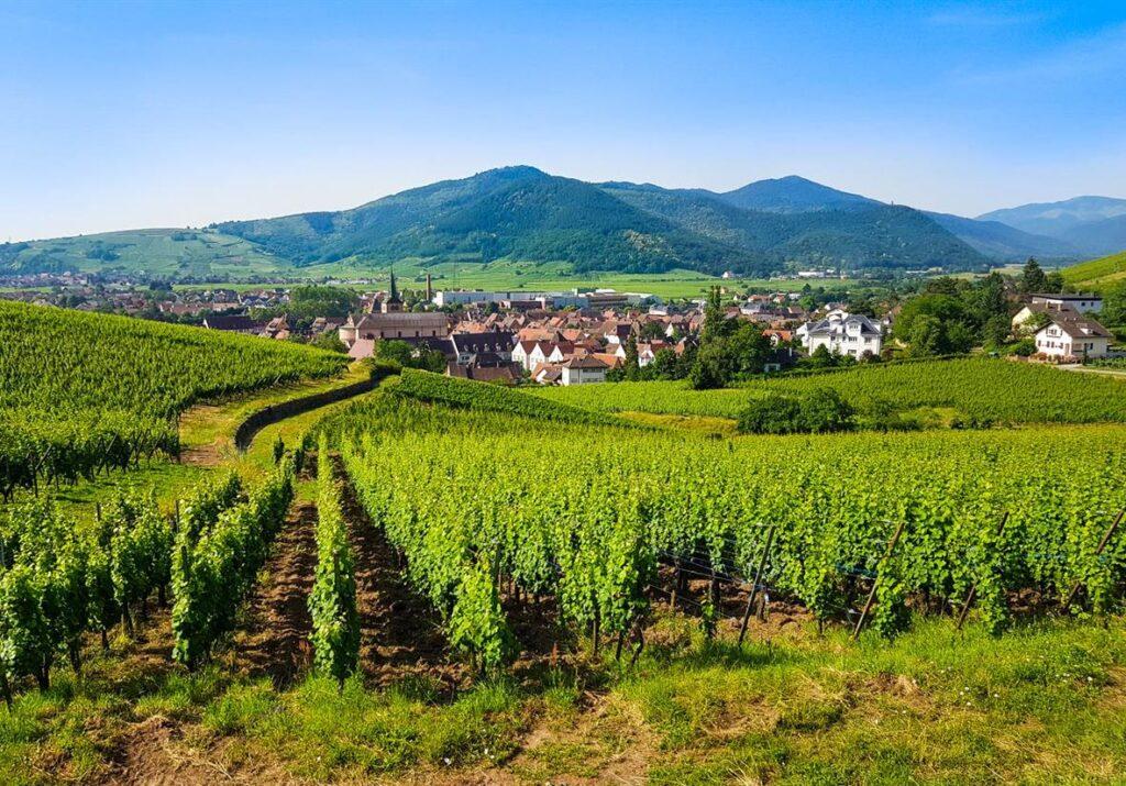 Riesling en Alsacia