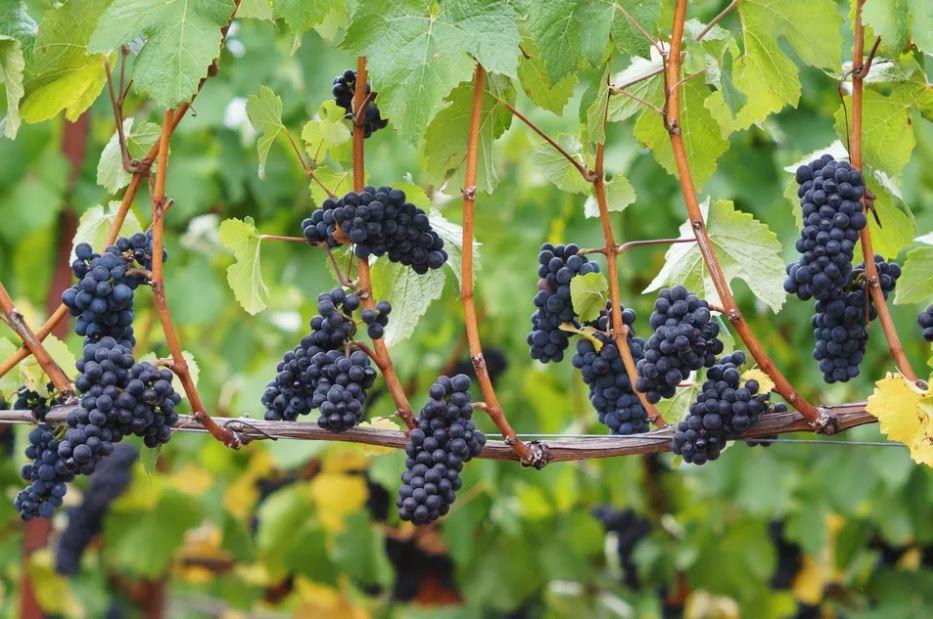 Racimos de Pinot Noir